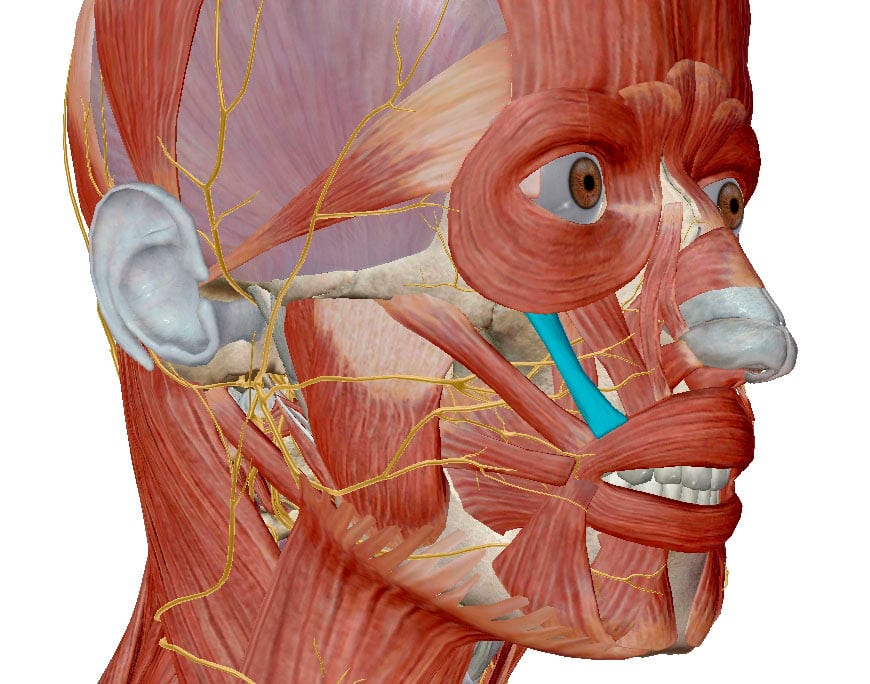 Скуловые мышцы тянут носогубные складки