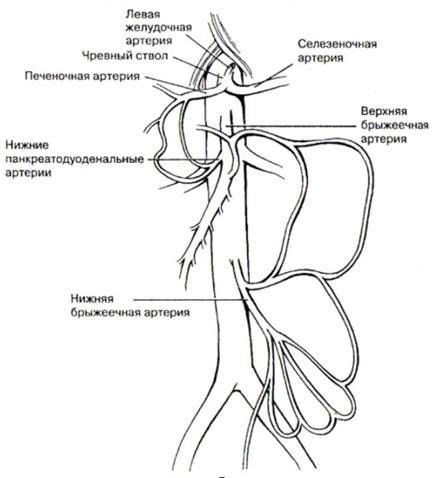 Рис. 8 Схема оартального разветвления к внутренним органам